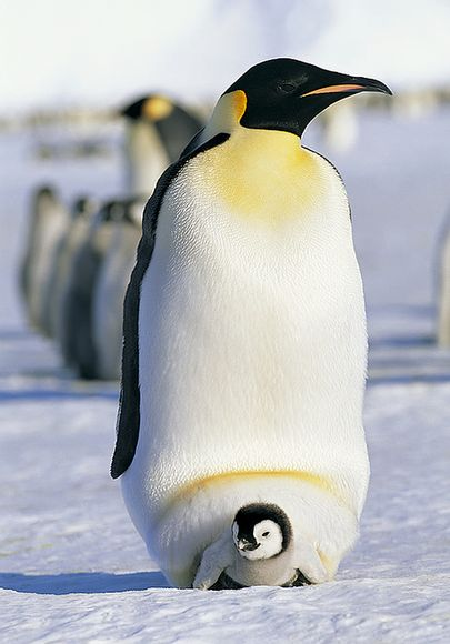 emperor-penguin-father-chicks_21862_600x450