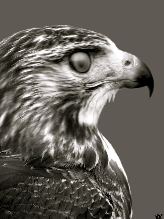 hawk-profile-debra---vatalaro-1