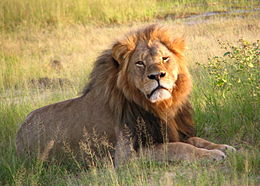 260px-Cecil_the_lion_at_Hwange_National_Park_(4516560206)