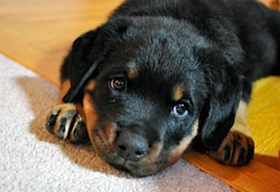 rottweiler_puppy_image19-1