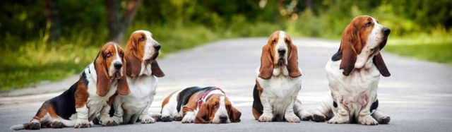 cropped-BassetHounds-2.jpg